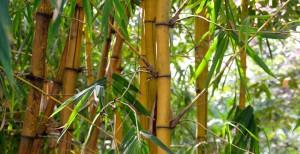 Sagano-Bambuswald