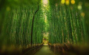 Sagano Bambuswald